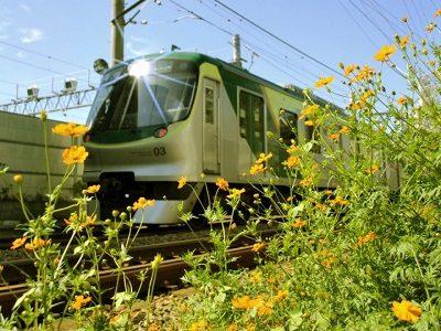 キバナコスモスと東急池上線【鉄道】